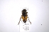 (Tabanus sp. 2 - INB0004047477)  @13 [ ] Copyright (2012) M. Zumbado Instituto Nacional de Biodiversidad