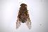 (Tabanus punctipleura - INB0004109141)  @14 [ ] Copyright (2012) M. Zumbado Instituto Nacional de Biodiversidad