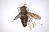 (Tabanus albocirculus - INBIOCRI000538363)  @15 [ ] Copyright (2012) M. Zumbado Instituto Nacional de Biodiversidad