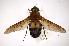 (Pangoniinae - INBIOCRI001337087)  @15 [ ] Copyright (2012) M. Zumbado Instituto Nacional de Biodiversidad
