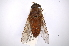 (Tabanus nebulosus - INBIOCRI001788474)  @13 [ ] Copyright (2012) M. Zumbado Instituto Nacional de Biodiversidad