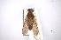 (Tabanus lacajaensis - INBIOCRI001991444)  @11 [ ] Copyright (2012) M. Zumbado Instituto Nacional de Biodiversidad