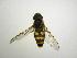 (Syrphus shorae - INBIOCRI002134771)  @13 [ ] Copyright (2012) M. Zumbado Instituto Nacional de Biodiversidad