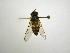 (Syrphus shorae - INBIOCRI002251217)  @13 [ ] Copyright (2012) M. Zumbado Instituto Nacional de Biodiversidad