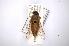 (Tabanus pseudoculus - INBIOCRI002373667)  @11 [ ] Copyright (2012) M. Zumbado Instituto Nacional de Biodiversidad