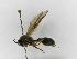 (Polybia flavitincta - INB0003373698)  @13 [ ] Copyright (2012) Braulio Hernandez Instituto Nacional de Biodiversidad