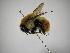 (Bombus ephippiatus - INB0004080196)  @13 [ ] Copyright (2012) Braulio Hernandez Instituto Nacional de Biodiversidad