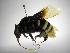 (Eulaema - INB0004171752)  @15 [ ] Copyright (2012) Braulio Hernandez Instituto Nacional de Biodiversidad
