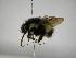 (Bombus digressus - INB0004185350)  @11 [ ] Copyright (2012) Braulio Hernandez Instituto Nacional de Biodiversidad