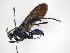 (Pepsis montezuma - INBIOCRI000626411)  @11 [ ] Copyright (2012) Braulio Hernandez Instituto Nacional de Biodiversidad