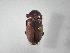 (Phyllophaga guanacasteca - INB0003302283)  @14 [ ] Copyright (2010) A. Solis Instituto Nacional de Biodiversidad