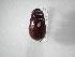 (Phyllophaga changuena - INB0003778821)  @14 [ ] Copyright (2010) A. Solis Instituto Nacional de Biodiversidad