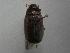 (Phyllophaga lissopyge - INBIOCRI001392186)  @13 [ ] Copyright (2010) A. Solis Instituto Nacional de Biodiversidad