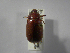 (Phyllophaga reventazona - INBIOCRI001400042)  @13 [ ] Copyright (2010) A. Sol's Instituto Nacional de Biodiversidad