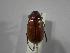 (Phyllophaga obsoleta - INBIOCRI001778097)  @14 [ ] Copyright (2010) A. Sol's Instituto Nacional de Biodiversidad