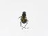(Trigonopeltastes sallaei - INBIOCRI001887520)  @12 [ ] Copyright (2010) A. Solis Instituto Nacional de Biodiversidad
