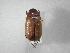 (Phyllophaga elenans - INBIOCRI001900063)  @13 [ ] Copyright (2010) A. Solis Instituto Nacional de Biodiversidad