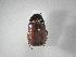 (Phyllophaga caraga - INBIOCRI002308402)  @15 [ ] Copyright (2010) A. Solis Instituto Nacional de Biodiversidad
