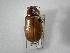 (Phyllophaga personata - INBIOCRI002343903)  @11 [ ] Copyright (2010) A. Solis Instituto Nacional de Biodiversidad