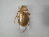 (Phyllophaga nahui - INBIOCRI002419790)  @13 [ ] Copyright (2010) A. Solis Instituto Nacional de Biodiversidad
