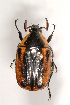 (Cetoniinae - MIC60497-001)  @17 [ ] Copyright (2013) Christian Moeseneder MIC