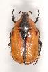 (Cetoniinae - MIC60648-001)  @17 [ ] Copyright (2013) Christian Moeseneder MIC