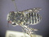 (Megachile sp. RLWB1 - RL1611B)  @11 [ ] CreativeCommons  Attribution Non-Commercial Share-Alike (2012) Remko Leijs South Australian Museum
