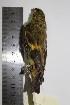(Sporagra - MHNSM MUSM-Orn-12752)  @11 [ ] Copyright (2014) Unspecified Museo de Historia Natural
