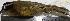 (Hemispingus atropileus - MHNSM MUSM-Orn-29240)  @11 [ ] Copyright (2014) Unspecified Museo de Historia Natural
