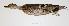 "(Anas georgica - MACN-Or-ct 271)  @13 [ ] Copyright (2012) MACN Museo Argentino de Ciencias Naturales ""Bernardino Rivadavia"""