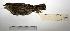 "(Anthus hellmayri - MACN-Or-ct 1050)  @13 [ ] Copyright (2012) MACN Museo Argentino de Ciencias Naturales ""Bernardino Rivadavia"""