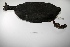 "(Fulica gigantea - MACN-Or-ct 1179)  @12 [ ] Copyright (2012) MACN Museo Argentino de Ciencias Naturales ""Bernardino Rivadavia"""