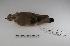 "(Metriopelia - MACN-Or-ct 1274)  @13 [ ] Copyright (2012) MACN Museo Argentino de Ciencias Naturales ""Bernardino Rivadavia"""