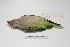 "( - MACN-Or-ct 1717)  @12 [ ] Copyright (2012) MACN Museo Argentino de Ciencias Naturales ""Bernardino Rivadavia"""