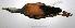 "(Aramides cajanea - MACN-Or-ct 1857)  @13 [ ] Copyright (2012) MACN Museo Argentino de Ciencias Naturales ""Bernardino Rivadavia"""