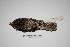 "(Eleothreptus - MACN-Or-ct 1866)  @14 [ ] Copyright (2012) MACN Museo Argentino de Ciencias Naturales ""Bernardino Rivadavia"""