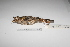 "(Coryphistera - MACN-Or-ct 1884)  @12 [ ] Copyright (2012) MACN Museo Argentino de Ciencias Naturales ""Bernardino Rivadavia"""