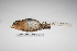 "(Conopophagidae - MACN-Or-ct 1950)  @13 [ ] Copyright (2012) MACN Museo Argentino de Ciencias Naturales ""Bernardino Rivadavia"""