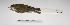"(Corythopis - MACN-Or-ct 2937)  @13 [ ] Copyright (2012) MACN Museo Argentino de Ciencias Naturales ""Bernardino Rivadavia"""