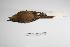 "(Dendrocincla - MACN-Or-ct 2939)  @13 [ ] Copyright (2012) MACN Museo Argentino de Ciencias Naturales ""Bernardino Rivadavia"""