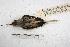 (Phaethornis eurynome - MACN-Or-ct 2970)  @12 [ ] Copyright (2014) MACN Museo Argentino de Ciencias Naturales, Bernardino Rivadavia