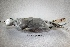 (Sterna trudeaui - MACN-Or-ct 302)  @13 [ ] Copyright (2014) MACN Museo Argentino de Ciencias Naturales, Bernardino Rivadavia