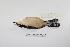 "(Donacobius atricapilla - MACN-Or-ct 3213)  @13 [ ] Copyright (2012) MACN Museo Argentino de Ciencias Naturales ""Bernardino Rivadavia"""