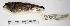 "(Ammodramus humeralis - MACN-Or-ct 3250)  @13 [ ] Copyright (2012) MACN Museo Argentino de Ciencias Naturales ""Bernardino Rivadavia"""