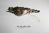 """(Charadrius modestus - MACN-Or-ct 3345)  @13 [ ] Copyright (2012) MACN Museo Argentino de Ciencias Naturales """"Bernardino Rivadavia"""""""
