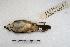 (Basileuterus rivularis - MACN-Or-ct 3580)  @11 [ ] Copyright (2014) MACN Museo Argentino de Ciencias Naturales, Bernardino Rivadavia