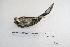 (Saltatricula - MACN-Or-ct 5337)  @12 [ ] Copyright (2014) MACN Museo Argentino de Ciencias Naturales, Bernardino Rivadavia