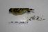 (Carduelis magellanica - MACN-Or-ct 7066)  @13 [ ] Copyright (2013) MACN Museo Argentino de Ciencias Naturales, Bernardino Rivadavia