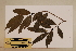 (Cinnamomum laubatii - CNS_CC_x01_C6)  @11 [ ] Copyright (2010) Australia Tropical Herbarium CSIRO, Queensland Government and James Cook University