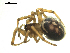 (Steatoda sp. 1GAB - CCDB-05302-G03)  @13 [ ] CreativeCommons - Attribution Non-Commercial Share-Alike  Gergin Blagoev, Biodiversity Intitute of Ontario Biodiversity Institute of Ontario